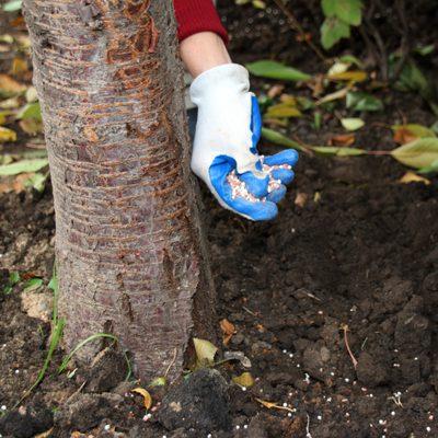fertilizing a tree by hand